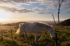 Wit paard die op de heuvel in de zonsondergang lopen Royalty-vrije Stock Foto