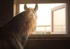 Wit paard die uit het venster gluren royalty-vrije stock afbeelding