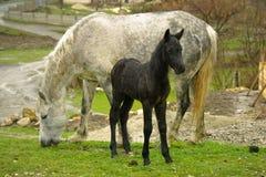 Wit paard en zwart veulen royalty-vrije stock afbeeldingen