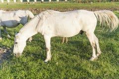 Wit paard in groene weide Royalty-vrije Stock Foto