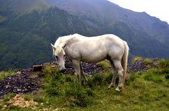 Wit paard in hooggebergte Stock Foto