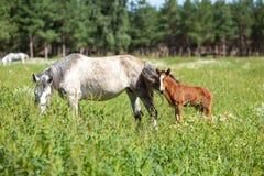 Wit paard met bruin veulen royalty-vrije stock foto's