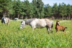Wit paard met bruin veulen stock afbeelding