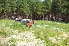 Wit paard met bruin veulen stock fotografie