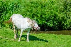 Wit paard met een gekke hoofdschommeling Royalty-vrije Stock Foto's