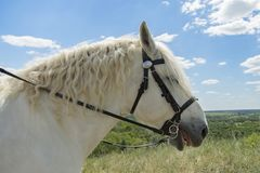 Wit paard met lang manen dicht omhooggaand portret tegen groen de lentegebied Wit paard tegen de achtergrond van het gebied Royalty-vrije Stock Fotografie