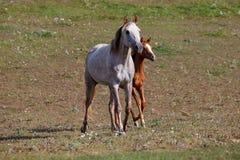 Wit paard met veulen in het weiland royalty-vrije stock afbeeldingen