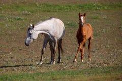 Wit paard met veulen in het weiland stock afbeelding
