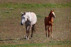 Wit paard met veulen in het weiland stock afbeeldingen