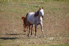 Wit paard met veulen in het weiland royalty-vrije stock fotografie