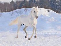 Wit paard op de winterachtergrond Stock Afbeelding