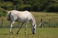 Wit paard op gebied Royalty-vrije Stock Foto