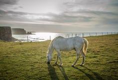 Wit paard op gebied dichtbij klip stock afbeelding