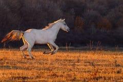 Wit paard runnig royalty-vrije stock afbeeldingen