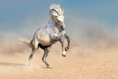 Wit paard in stof Royalty-vrije Stock Foto