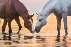 Wit paard in water stock fotografie