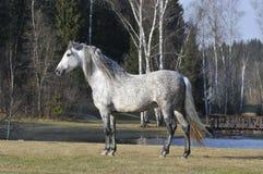 Wit paardportret Royalty-vrije Stock Afbeeldingen