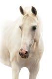 Wit paardportret dat op wit wordt geïsoleerde Royalty-vrije Stock Fotografie