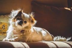 Wit pekingese hond binnenportret royalty-vrije stock afbeeldingen