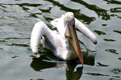 Wit pelikaan vliegend water Royalty-vrije Stock Afbeeldingen