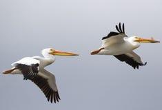 Wit pelikaanpaar tijdens de vlucht Royalty-vrije Stock Afbeeldingen