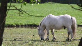 Wit poneypaard stock footage