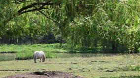 Wit poneypaard stock videobeelden