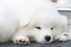 Wit puppy Stock Fotografie