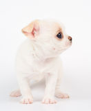 Wit puppy Stock Foto