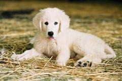 Wit puppy dat op stro rust Stock Foto