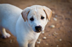 Wit puppy met droevige ogen stock foto's