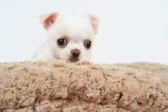 Wit puppy op bed Stock Afbeeldingen
