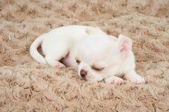Wit puppy op bed Stock Foto's