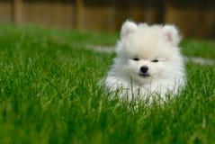 Wit Puppy Pomeranian op Gazon royalty-vrije stock afbeeldingen