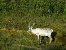 Wit rendier bij een bosgrens Stock Foto's