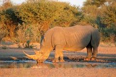 Wit rinoceros drinkwater Stock Afbeelding