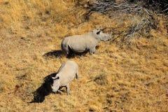 Wit rinocerospaar Royalty-vrije Stock Foto's