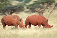 Wit rinocerospaar Stock Afbeelding
