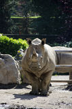 Wit rinocerosportret Royalty-vrije Stock Foto's