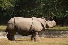 Wit rinocerosverblijf bij gras, India Stock Afbeelding