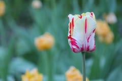 Wit-rode tulp op een mooie groene achtergrond stock foto's