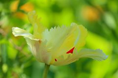Wit-rode tulp op een mooie groene achtergrond stock afbeelding