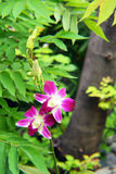 Wit-rode zeldzame orchidee Stock Afbeelding
