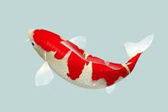 Wit & Rood Koi Fish Stock Foto