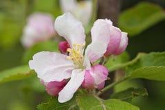 Wit-roze appelbloesem met knoppen en regendruppelsclose-up royalty-vrije stock foto's