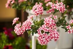 wit-roze bloemen in een pot op de muur stock afbeelding
