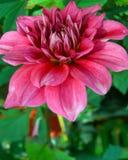 Wit-roze dahlia Stock Afbeelding