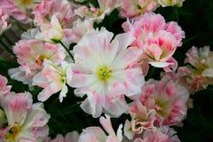 Wit-roze geschakeerde tulpen die op het bloembed groeien Hoogste mening stock fotografie