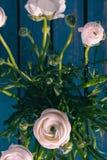 Wit/roze/Ranonkels/Ranunculus/Bloemen/Bloemen/Perzische Boterbloem stock afbeeldingen