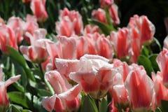 Wit roze tulpen op het gebied royalty-vrije stock afbeeldingen